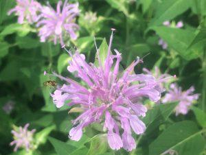 Monarda fistulosa (Bee Balm)